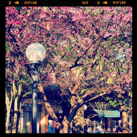 cerejeira gramado RS