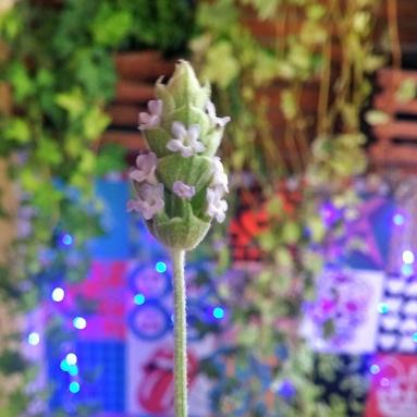 flor lavanda